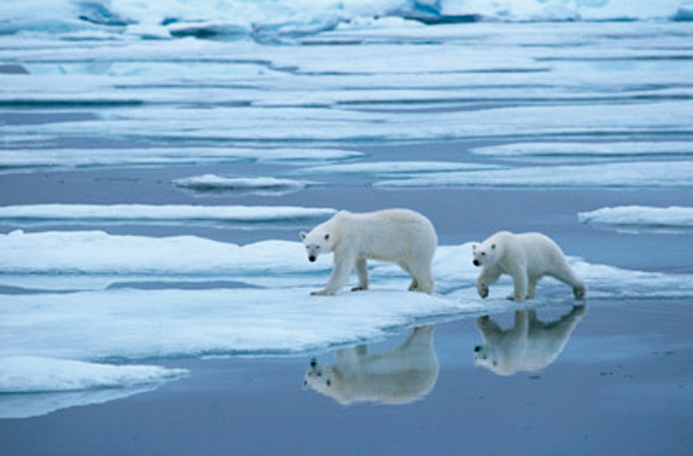 polar bears 2 essay Polar bears are the largest land carnivores in the world, rivaled only by the kodiak brown bears of southwestern alaskapolar bears sit at the top of the food chain in the biologically rich arctic.