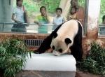 Угощение для панды на ледяном блоке -2