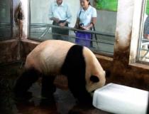 Панды любят лед -5
