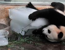 Панды любят лед -6