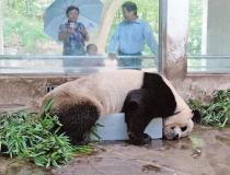 Панды любят лед -1