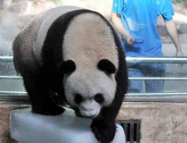 Панды любят лед -2