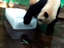 Панды любят лед -4