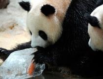 Ледяное угощение для панд - 1