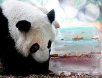 Ледяное угощение для панд - 2