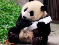 Ледяное угощение для панд - 4