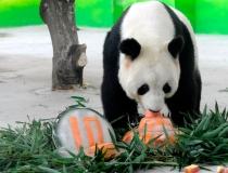 Ледяное угощение для панд - 5