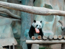 Ледяное угощение для панд - 6