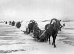 Конные обозы, доставившие в блокадный город муку