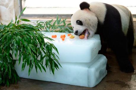 Панды любят лед