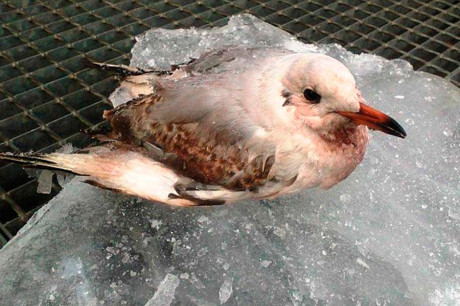 Чайка попавшая в лед