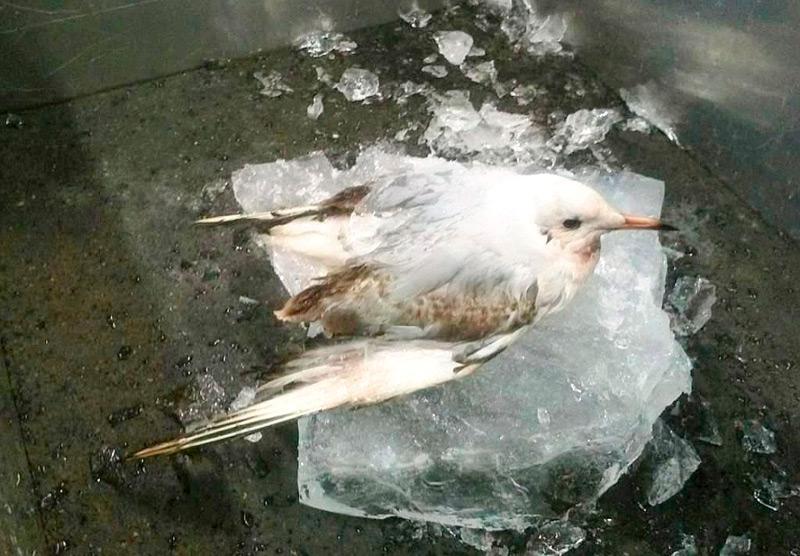 Нижняя часть туловища чайки застряла во льду