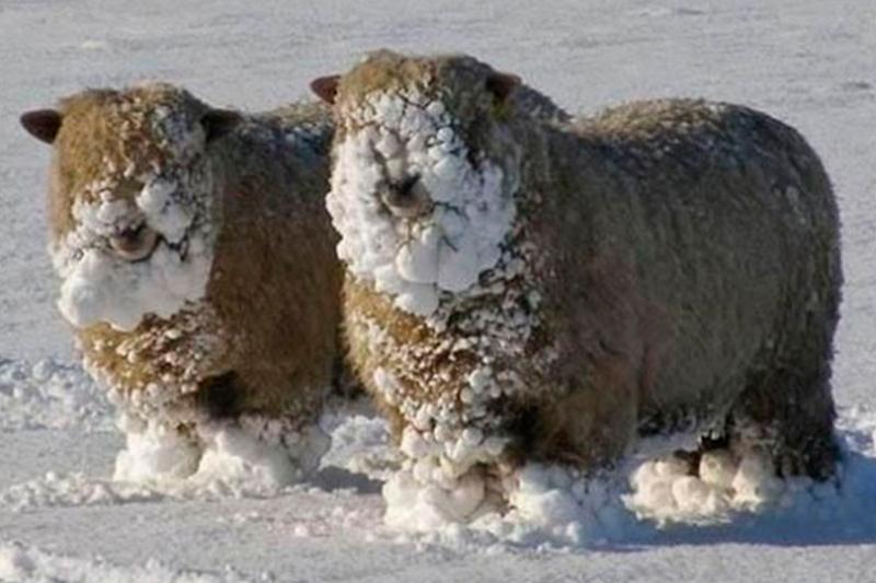 Снежные овцы