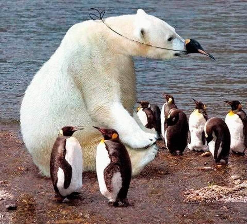 Замаскированный среди пингвинов белый мишка