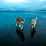 Хаски на замерзшем озере