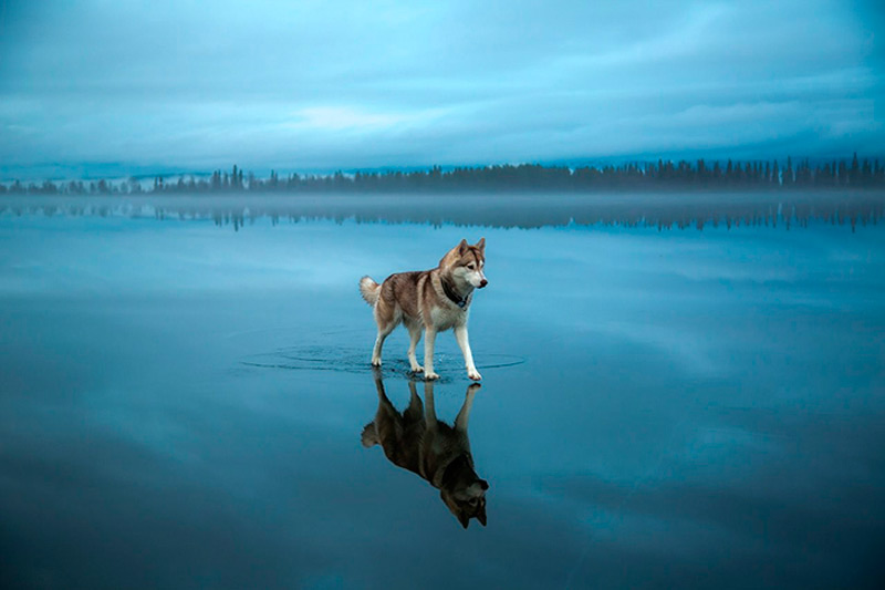Хаски гуляет по замерзшему озеру