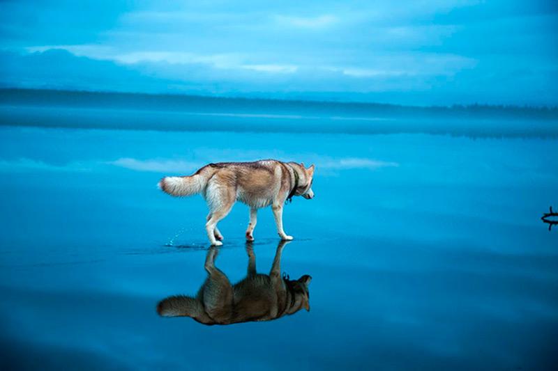Хаски на зеркальной поверхности озера