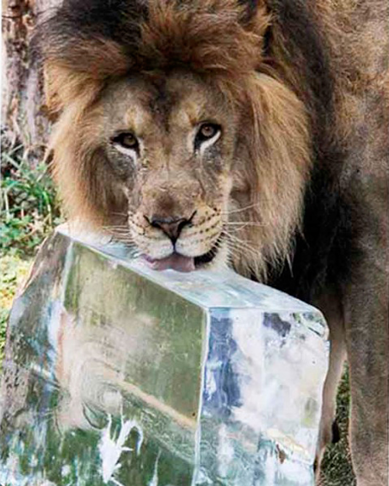 Царь зверей тоже любит лед!