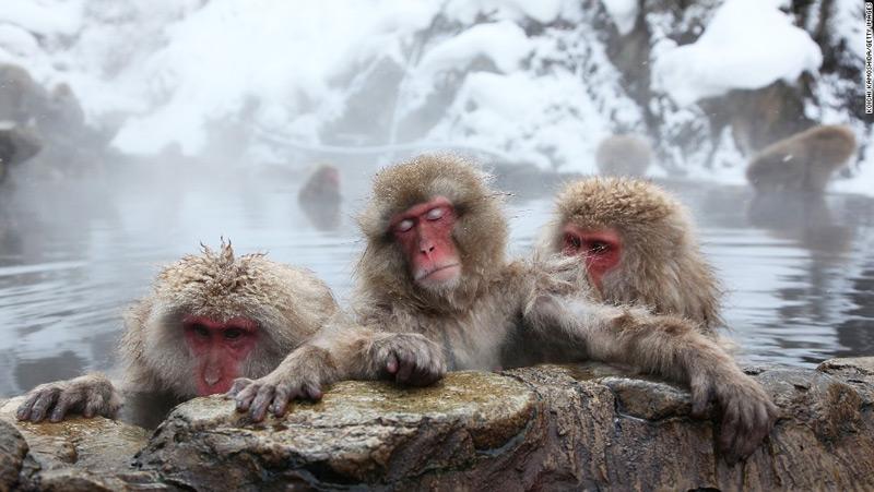 Илл.4 – Японские макаки, принимающие геотермальные ванны